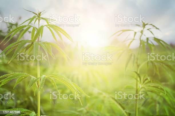 太陽とマリファナフィールドマリファナの葉緑の背景に大麻美しい背景オドア栽培 - まぶしいのストックフォトや画像を多数ご用意