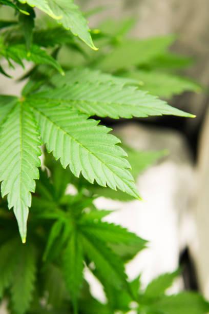 Cтоковое фото Marijuana flower Indoors growing. Home Grow legal Recreational hemp. Cannabis business. Planting cannabis. Northern light strain. Marijuana grow operation.