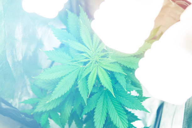 Marijuana grow operation. Planting cannabis. Northern light strain. Cannabis business. Home Grow legal Recreational hemp. Marijuana flower Indoors growing. - foto stock