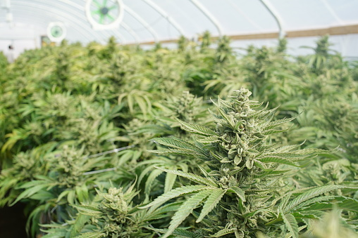 655844066 istock photo Marijuana Grow Tent Cannabis Indica Kush Plant Shallow DOF 587216630