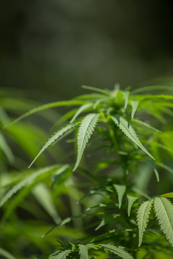 543350314 istock photo Marijuana, hemp grows. Selective focus blurred background. 1056404740