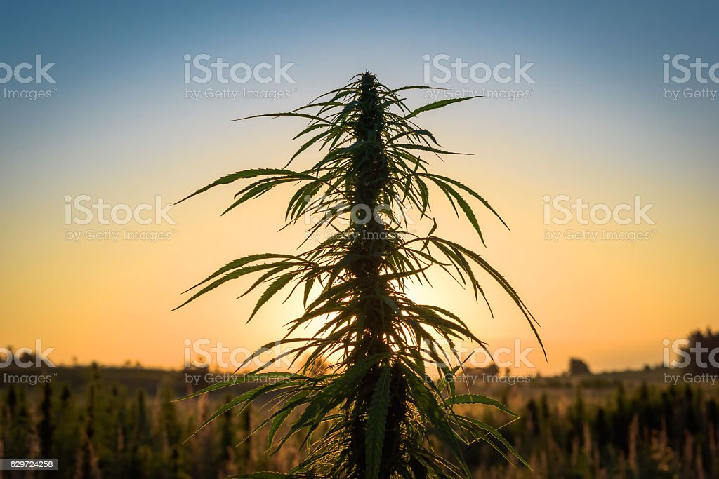 Marijuana in field – Foto