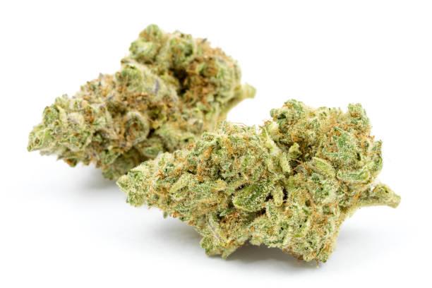marijuana isolated white background - pączek etap rozwoju rośliny zdjęcia i obrazy z banku zdjęć