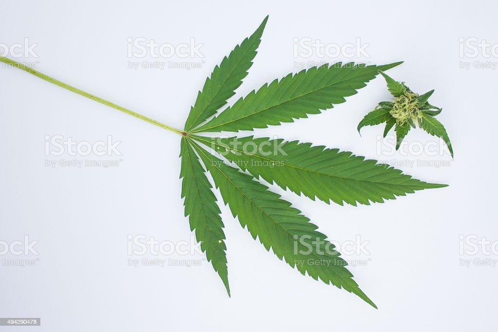 Marijuana Leaf and Bud royalty-free stock photo