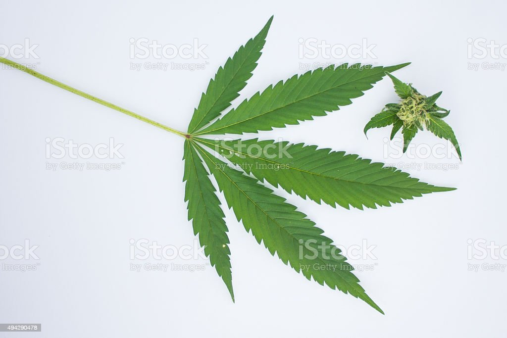 Marijuana Leaf and Bud stock photo