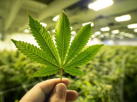 655844066 istock photo Marijuana Leaf Growing Cannabis For Legal Dispensary Store 1089974766