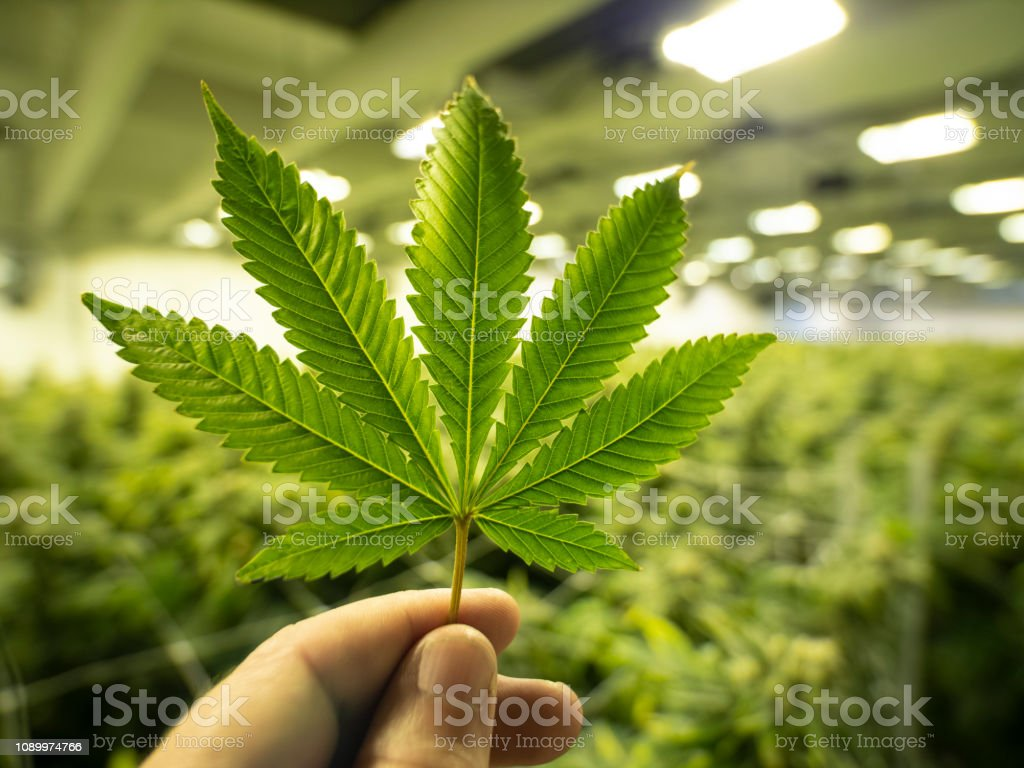 Hoja de marihuana, cultivo de Cannabis Legal dispensario tienda - foto de stock
