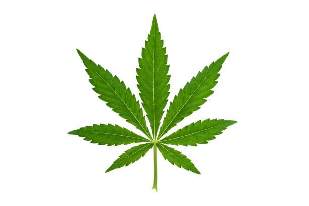 marihuanablatt auf weißem hintergrund - hanfblatt stock-fotos und bilder