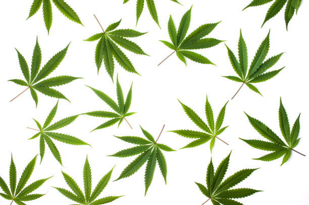 Marijuana leafs on white background isolated