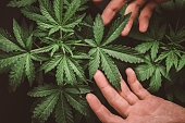Marijuana leaves, cannabis on a dark background, beautiful background, indoor cultivation