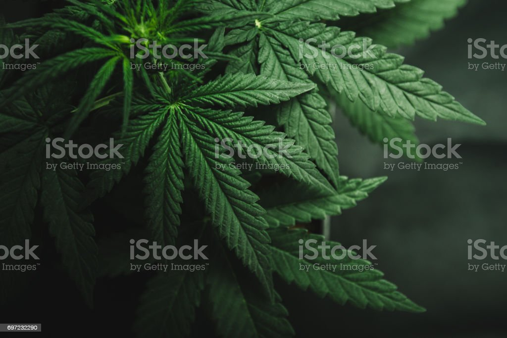 Marijuana leaves, cannabis on a dark background stock photo