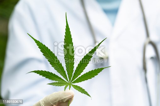 istock Marijuana leaves in the hands of a medical team Medical background. The concept of oil refining to treat diseases. alternative medicine Natural herbs used to treat diseases. 1189150676