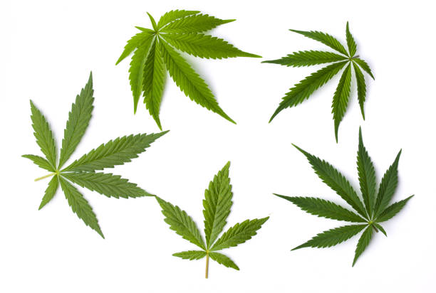 Marijuana leaves isolated on white background
