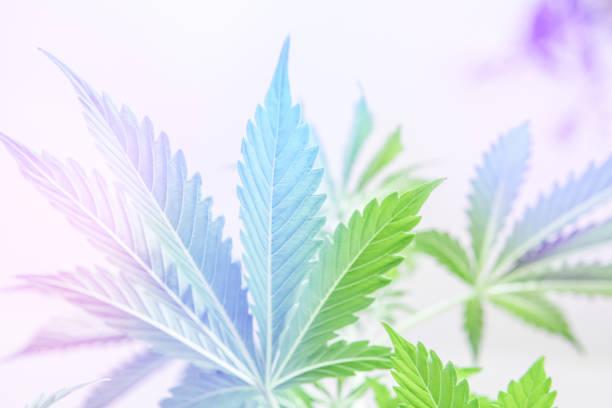 marijuana leaves on light, Cannabis vegetation plants, hemp marijuana CBD, marijuana legalization, indoor grow cannabis indica, white background cultivation cannabis, light leaks light leaks - foto stock