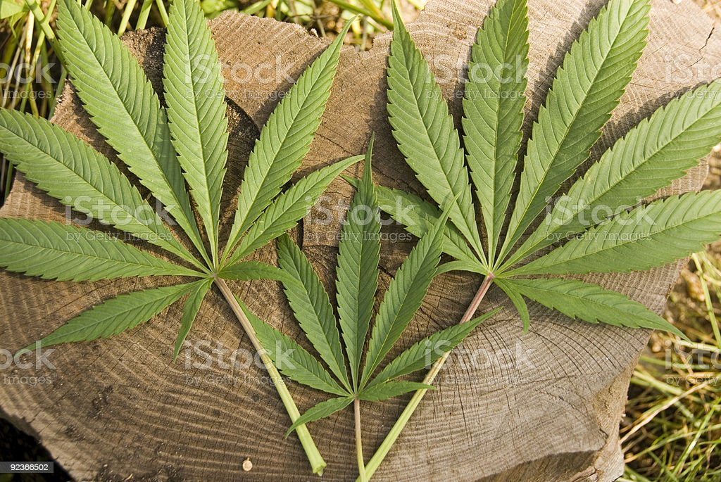 Marijuana Leaves on Log royalty-free stock photo