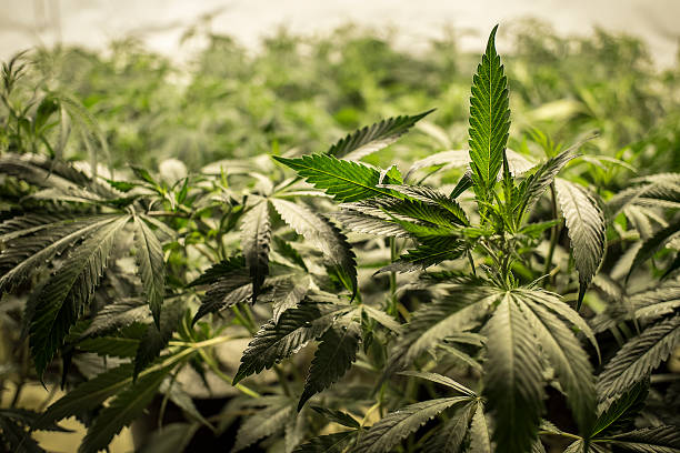 Marijuana Leaves on Top of Plants stock photo