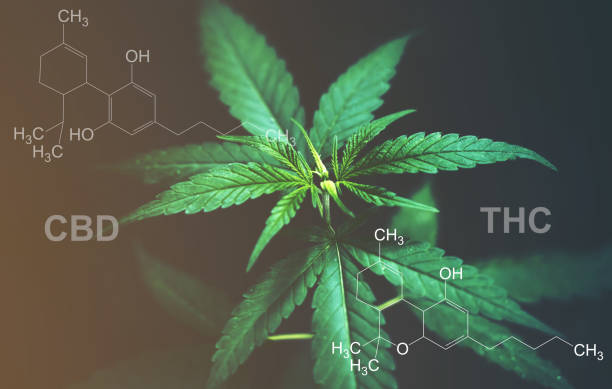 Marijuana leaves with cbd thc chemical structure Marijuana leaves with cbd thc chemical structure thc stock pictures, royalty-free photos & images
