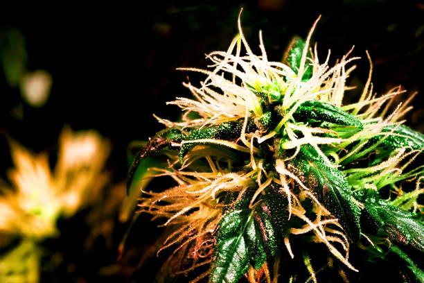 haschisch - wachsblume stock-fotos und bilder
