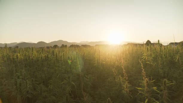 Marijuana plant at outdoor cannabis farm field stock photo
