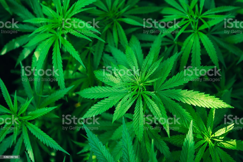 marijuana plant background wallpaper, cannabis hemp leaf outdoors royalty-free stock photo