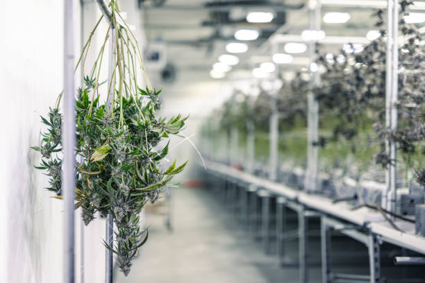 Marijuana Plant Branches with Buds Hanging for Harvest stock photo