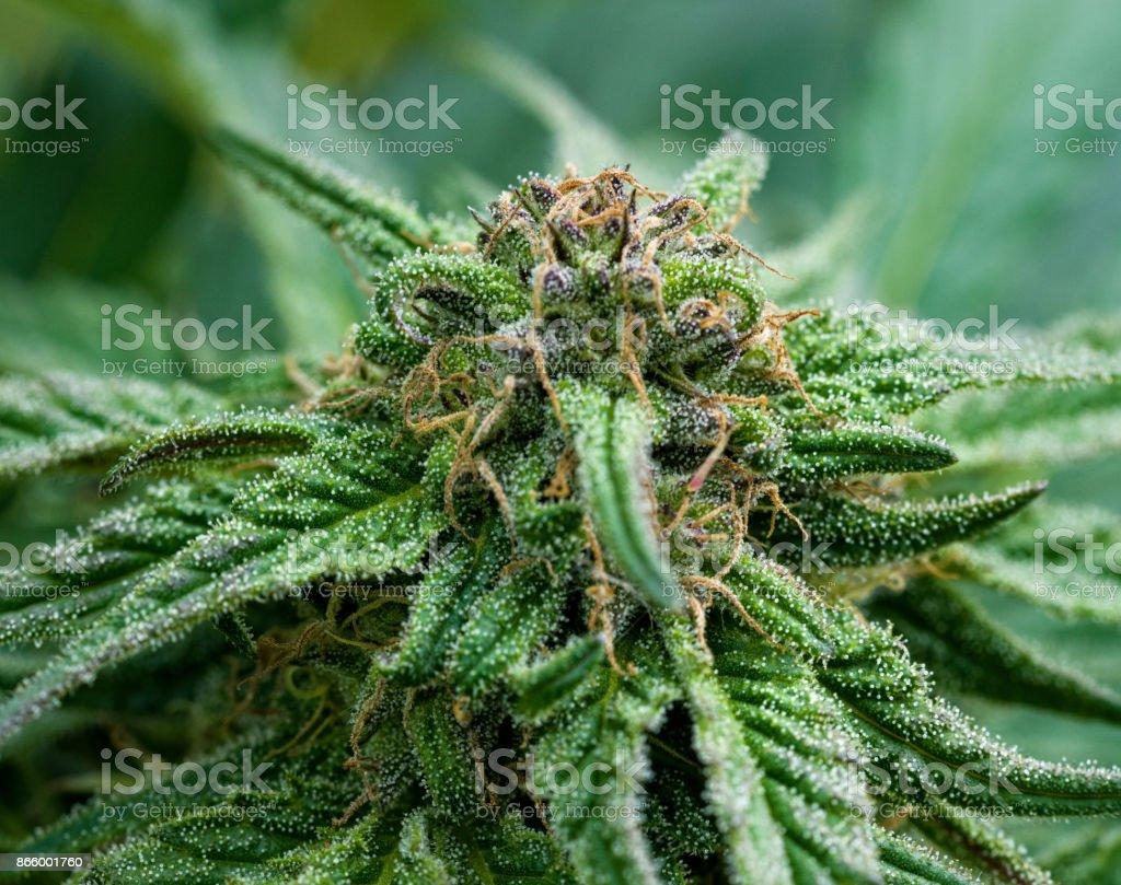 Marijuana Plant Cultivation stock photo