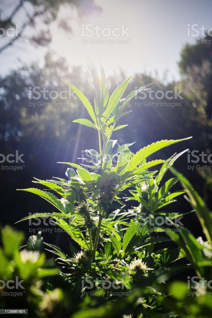 Marijuana växt som växer hälsosamt i morgonsolen bildbanksfoto