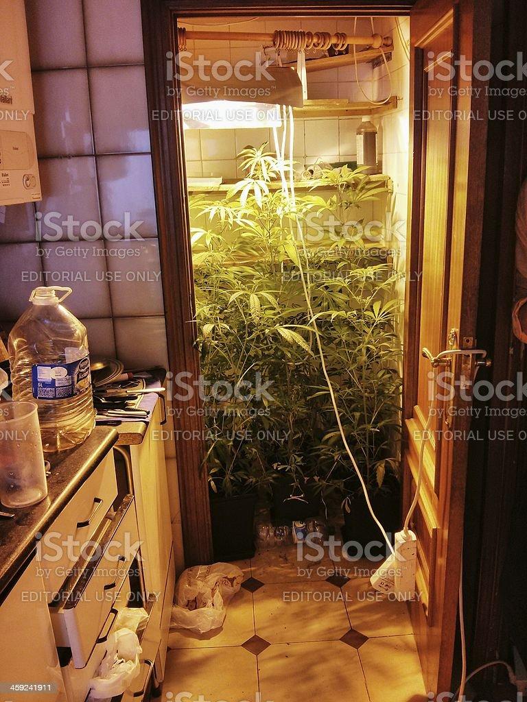 Marijuana plant indoor stock photo