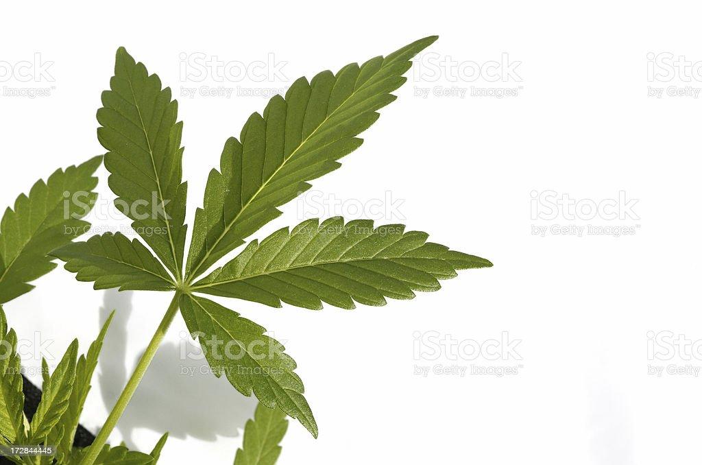 Marijuana plant royalty-free stock photo