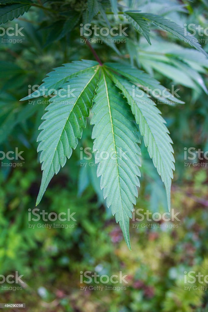 Marijuana Plant royalty-free stock photo