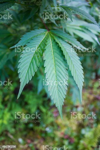 Marijuana Plant Stock Photo - Download Image Now