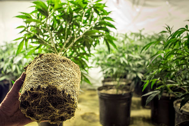 Marijuana Plant Roots in Transplanting stock photo