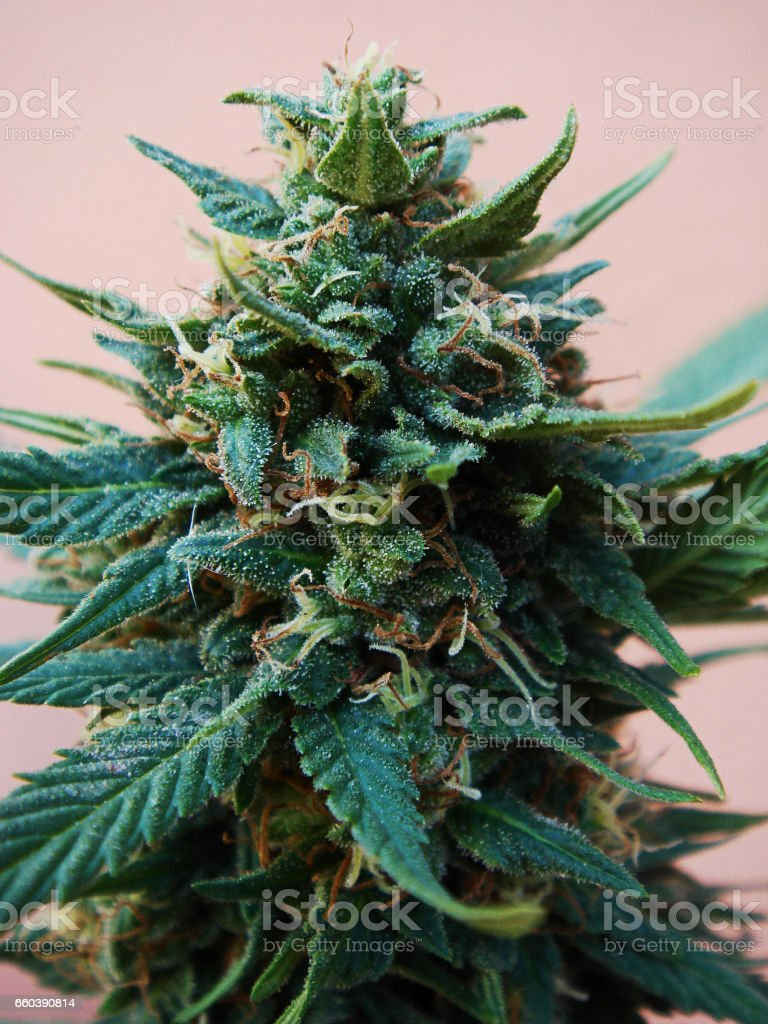 Marijuana plant with buds and flowers - foto de stock
