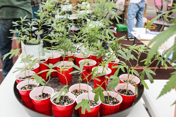 Marijuana plants for sale at festival stock photo