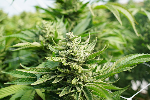 590158202 istock photo Marijuana Plants Grow Ready For Harvest Distribution Medical Cannabis Dispensary 590157916