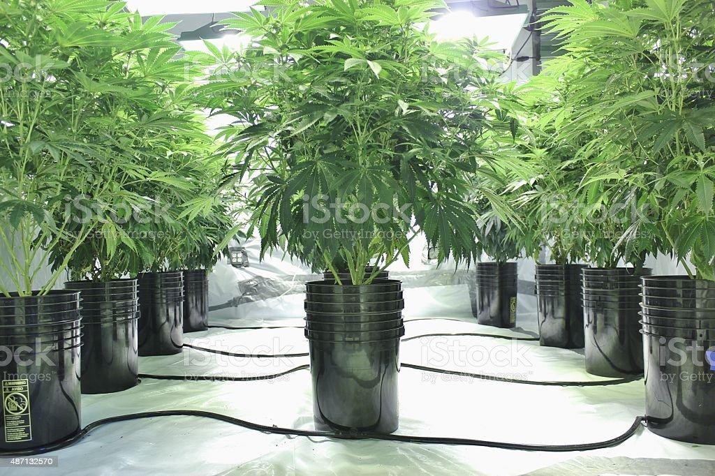 Marijuana plants growing indoors using hydroponics stock photo