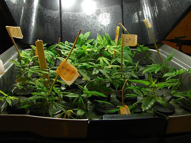 Marijuana plants in a cloner- closeup stock photo