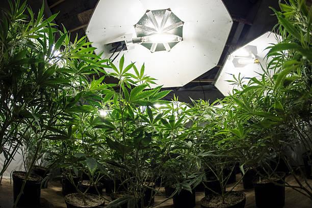 Marijuana Plants Looking Up at Lights stock photo