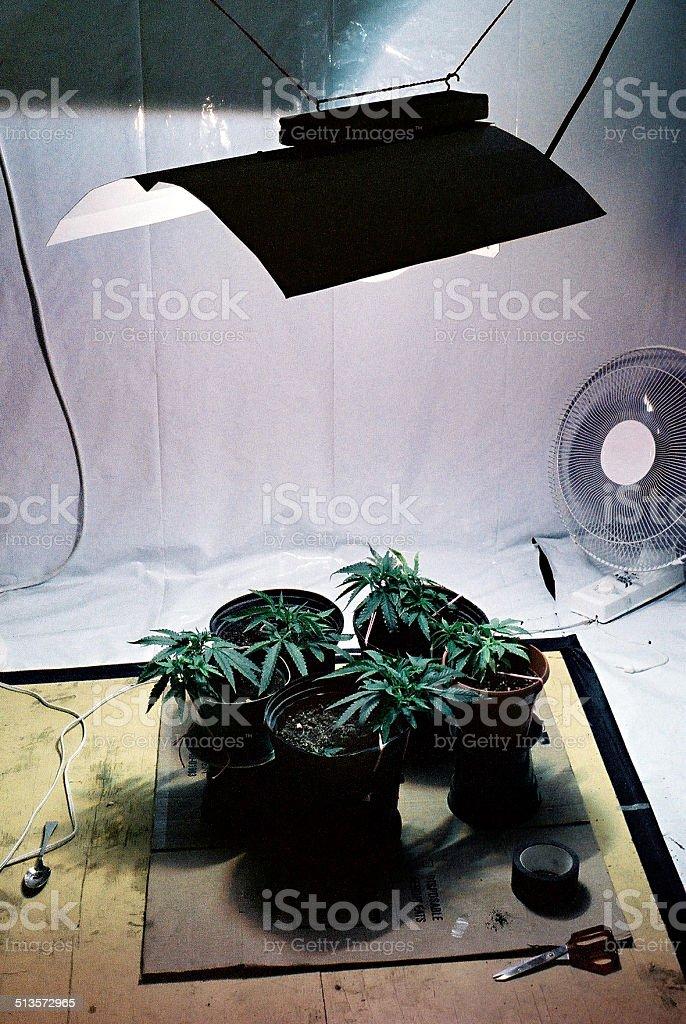 Marijuana Plants royalty-free stock photo