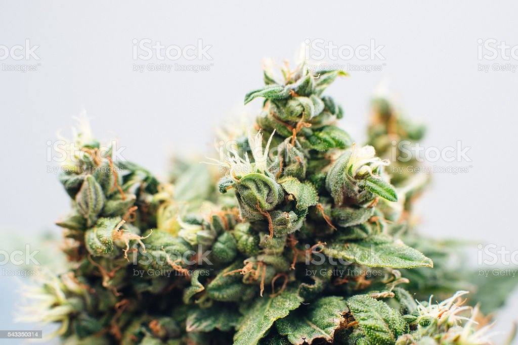 marijuana plants stock photo