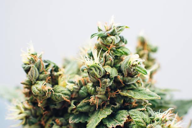 marijuana plants - bud stock pictures, royalty-free photos & images