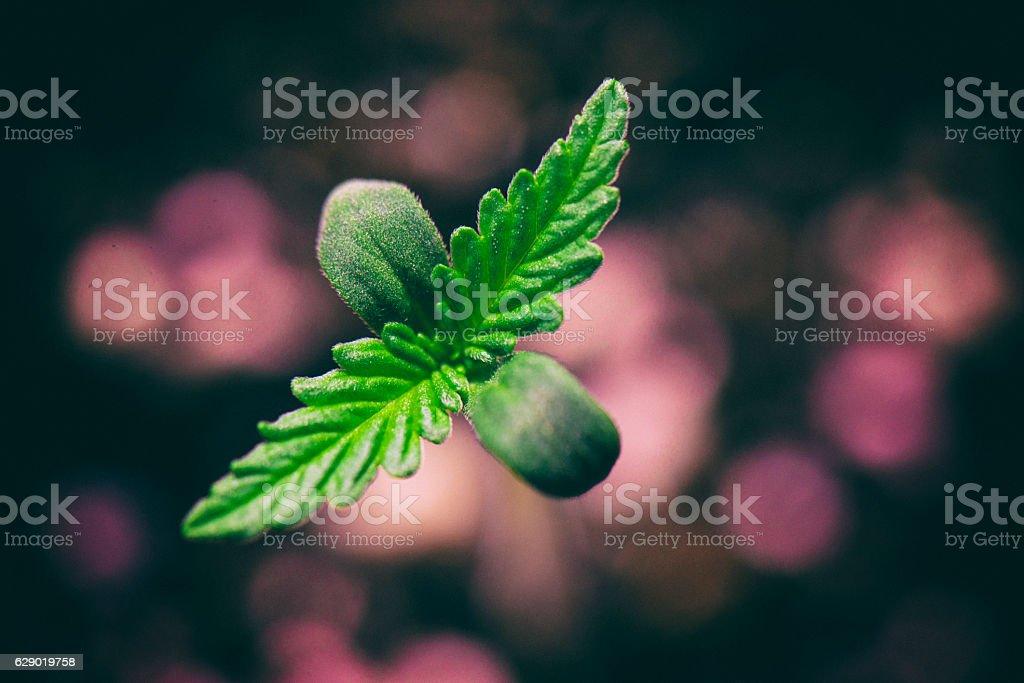 Marijuana seedling macro detail Macro detail of Marijuana plant seedling growing from seed Botany Stock Photo