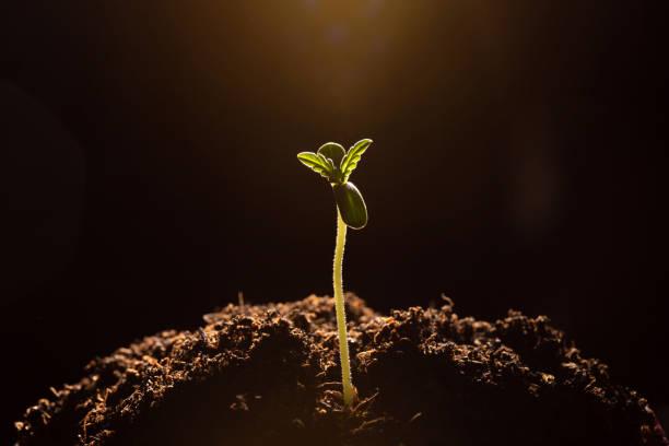 大麻發芽在土壤特寫黑暗的背景 - 幼苗 個照片及圖片檔