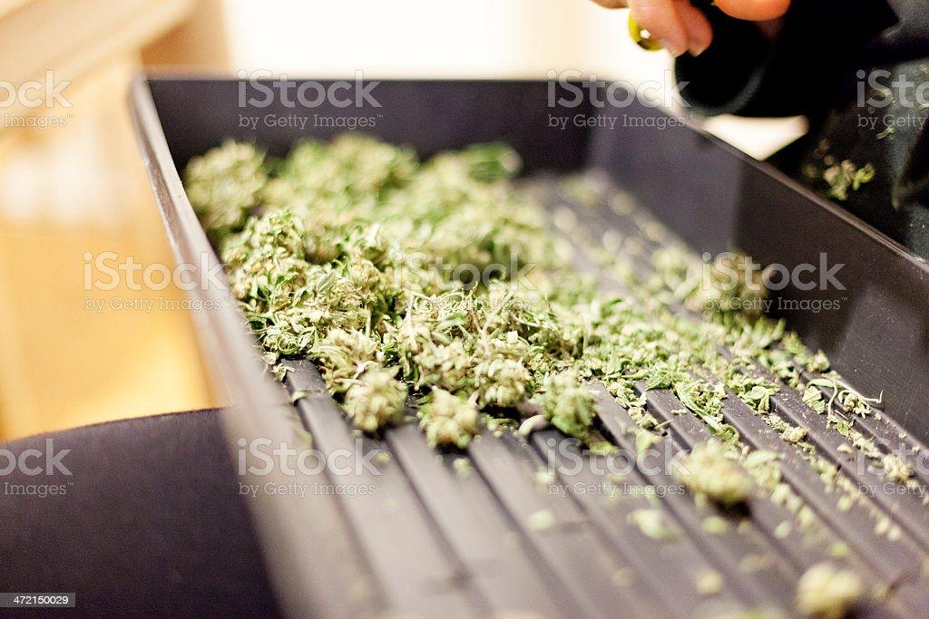 Marijuana Trimming stock photo