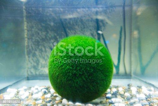 istock Marimo moss ball 851915520