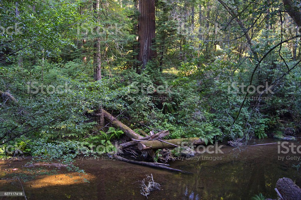 Marin County Redwood Creek stock photo
