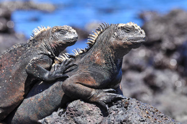 Marin Iguana stock photo