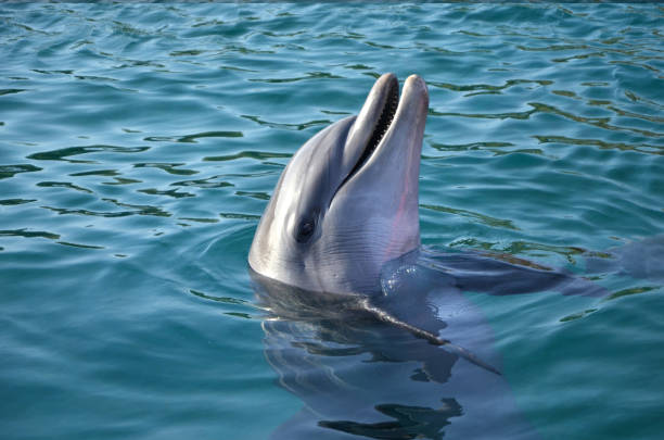 marine animals, dolphin, joy, water, nature, head, happy, sea, underwater, smile, pool, animal, ocean, wildlife, mammal, marine, teeth, nose, aquatic, atlantic, blue, playful, beauty, summer, marine life, red sea, funny metal,gold,summer,beach,sand,wedding,ring,bride,hand,white,engagement,finger,love,romance,jewelry,female,beauty,holding,diamond,ceremony,married,girl,celebration,romantic,two dolphin stock pictures, royalty-free photos & images