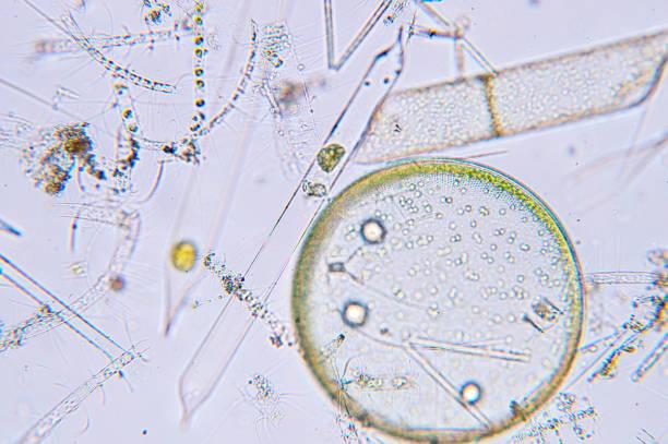 marine aquatic plankton under microscope view - organizm wodny zdjęcia i obrazy z banku zdjęć