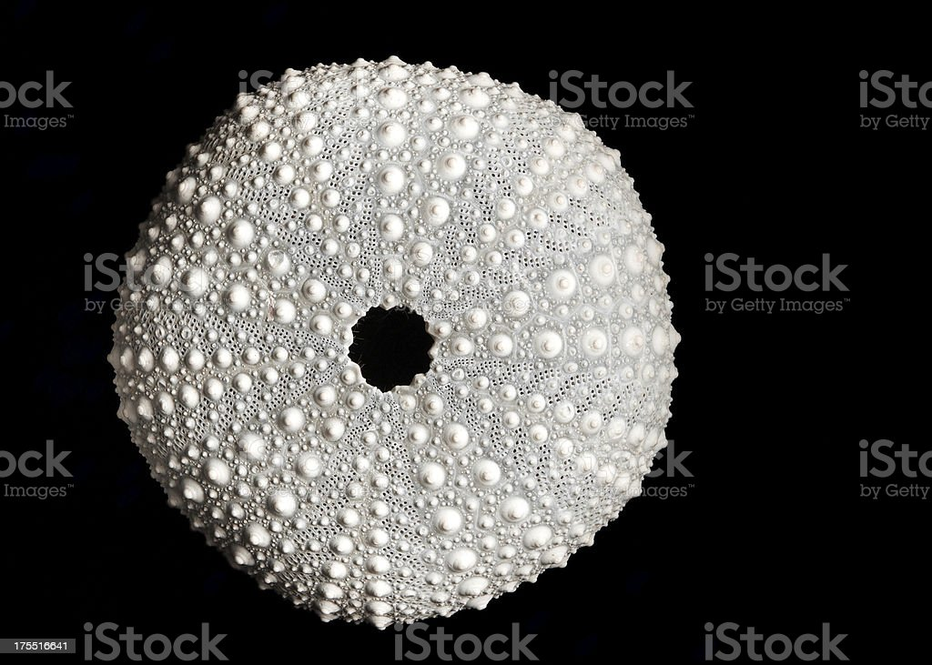 Marine Biology Dried Sea Urchin Isolated on Black stock photo